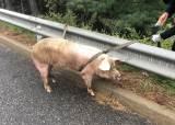 서해안고속도로서 갑자기 돼지 출현…돼지들 다리 부러져