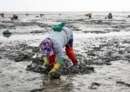 충남 서해안 바지락 5년만에 반토막… 원인은 고수온·펄질화