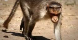 원숭이, 엄마 젖먹던 12일된 갓난 아기 낚아채 살해