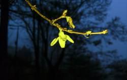 [권혁재 핸드폰사진관] 겨울비에 젖은 봄꽃들