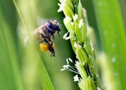 꽃가루 만으로 벼 '복제' 가능해진다...우수 품종 보존하고 수확량 증가할까