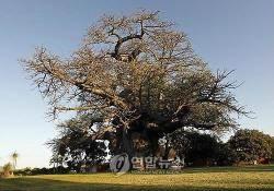 2000년 된 바오밥나무, 최근 10년새 잇따라 말라죽는 이유
