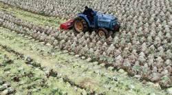 [서소문사진관] '가격 폭락' 가을배추 1392t 밭에서 갈아 엎어