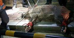 도심 출몰 180㎝·150㎏ 대형 멧돼지, 순찰차로 들이받아 생포