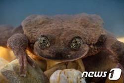 유일 개체 희귀종 개구리, 10년만에 짝 찾았다
