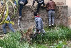 [<!HS>서소문사진관<!HE>]숲에는 먹이가 없어요. 사람 공격하는 인도 표범.