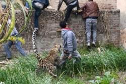[서소문사진관]숲에는 먹이가 없어요. 사람 공격하는 인도 표범.