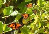 4000㎞ 제왕<!HS>나비<!HE> 이동, 미국-멕시코 국경장벽도 못 막는다