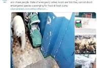 """북극곰 50마리 러시아 섬마을 점령…""""인간이 미안할 일"""""""