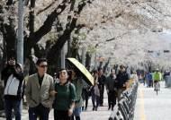 올봄 벚꽃 4~7일 일찍 핀다…진해 3월 26일, 서울 여의도 4월 3일
