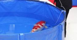 물고기 한 마리 23억···세계가 눈독 들이는 日비단잉어