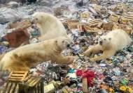 [서소문사진관]북극곰의 침략(?), 쓰레기 더미 뒤지는 러시아 북극곰들