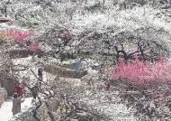 [사진] 미세먼지 물러가자 매화꽃·눈꽃