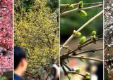[서소문사진관] 서울에 도착한 봄, 전국 봄꽃 축제 언제?