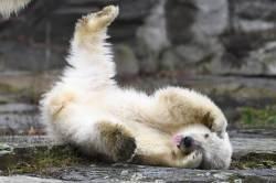 [<!HS>서소문사진관<!HE>] 백일 맞은 아기 북극곰의 첫 외출!