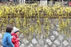 [<!HS>서소문사진관<!HE>]성큼 다가온 봄…청계천에 매화·산수유꽃 활짝