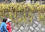 [서소문사진관]성큼 다가온 봄…청계천에 <!HS>매화<!HE>·산수유꽃 활짝