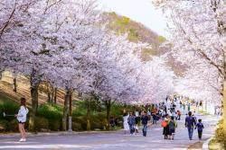 [요즘 호텔&] 비발디파크, 다음 달 6일부터 '2019 벚꽃 축제'