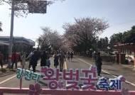 제주도 벚꽃 만개 '연분홍 물결'…벚꽃축제 들썩
