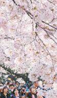 [사진] 서울 쌀쌀한데, 남녘은 벚꽃 잔치