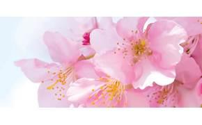 [라이프 트렌드] 벚꽃 자태는 눈으로 향기는 입으로 … 달콤한 휴식 만끽