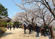 벚꽃 보러 미세먼지 청정지역 강릉 동해안 찾는 '피미족'