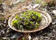 냉이·미나리…봄나물 5종에서 기준초과 농약 검출