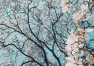 쌍계사·진해가 아니어도 좋다, 난 벚꽃 보러 여의도로 간다