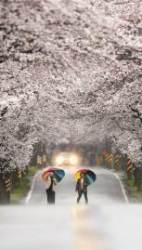 [강찬수의 에코파일] 벚꽃이 피는 날짜를 어떻게 미리 알 수 있을까