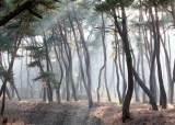 산불·병충해·오염…'국<!HS>목<!HE>(國木)' 소나무의 소리없는 비명