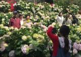 여름꽃 수국을 두 달 먼저…전국에서 처음 만나는 화사함