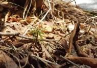 '멸종위기' 지리산 구상나무…세석평전에서 희망 찾았다