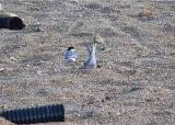 멸종위기 쇠제비갈매기, 안동호 인공 모래섬에서 첫 번식