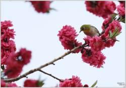[조용철의 마음 풍경] 동박새도 꽃놀이