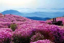 '개꽃'이라 무시 말아라. 철쭉만큼 길게 피는 봄꽃도 없다
