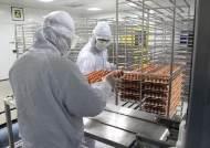 계란으로 2억명분 독감백신 생산…여름이 더 바빠요
