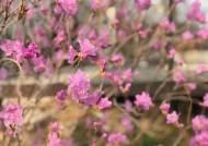 허무와 그리움 사이에 피어나는 꽃, 너의 이름 진달래
