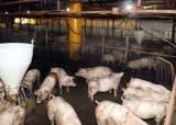 돼지열병에 잔반돼지 사라지나…음식물쓰레기 못 먹인다