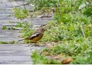 새도 길을 잃는다?…히말라야 사는 흰목딱새 마라도서 발견