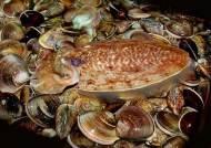 1㎏당 1만원 금(金)징어된 갑오징어, 이젠 키워서 먹는 길 열렸다