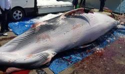 포항 바다서 죽은 밍크고래 발견…2800여만원에 거래