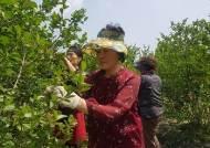 [일손 절벽 농촌]도시·농촌 '일손 중매' 일일 농부 4시간에 2만원 봉사활동