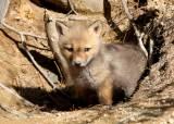 사냥개 무리에 먹이 겸 사냥 연습용으로 새끼여우 던진 커플