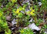 중국 황산에만 자라는 희귀식물 국내서 첫 발견