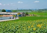 할매가 고울까 꽃이 고울까, 해바라기로 물든 시골 마을