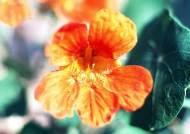 왕을 짝사랑한 궁녀의 무덤에 핀 꽃, 능소화를 아시나요