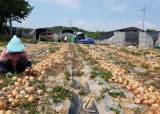 [르포] '1㎏에 200원' 헐값 된 양파···농민은 그대로 버렸다
