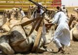 [서소문사진관]선택 받지 못한 낙타의 운명은? 수단 낙타시장 풍경