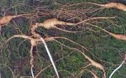 멧돼지 피하려다 70년 넘은 '천종산삼' 8뿌리 발견…감정가는