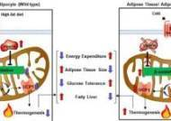 지방덩어리 태우는 '비만 조절' 유전자 발견됐다